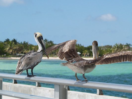 brown-pelicans-1231785_1280