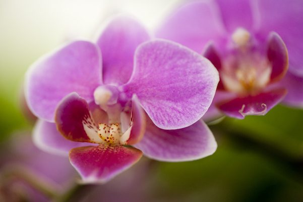 NYBG_TOS2013_Doritaenopsis_photo_by_Ivo_M_Vermeulen