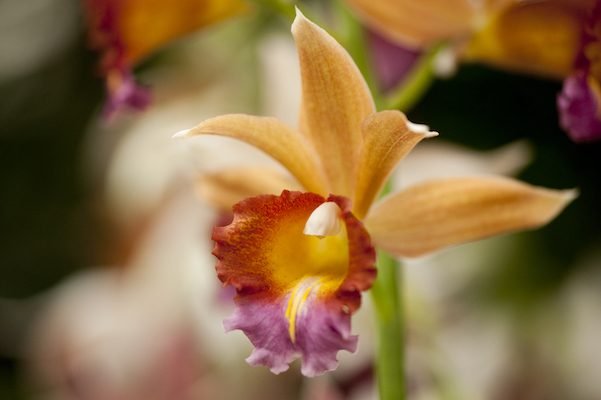 NYBG_TOS2013_Phaius_photo_by_Ivo_M_Vermeulen